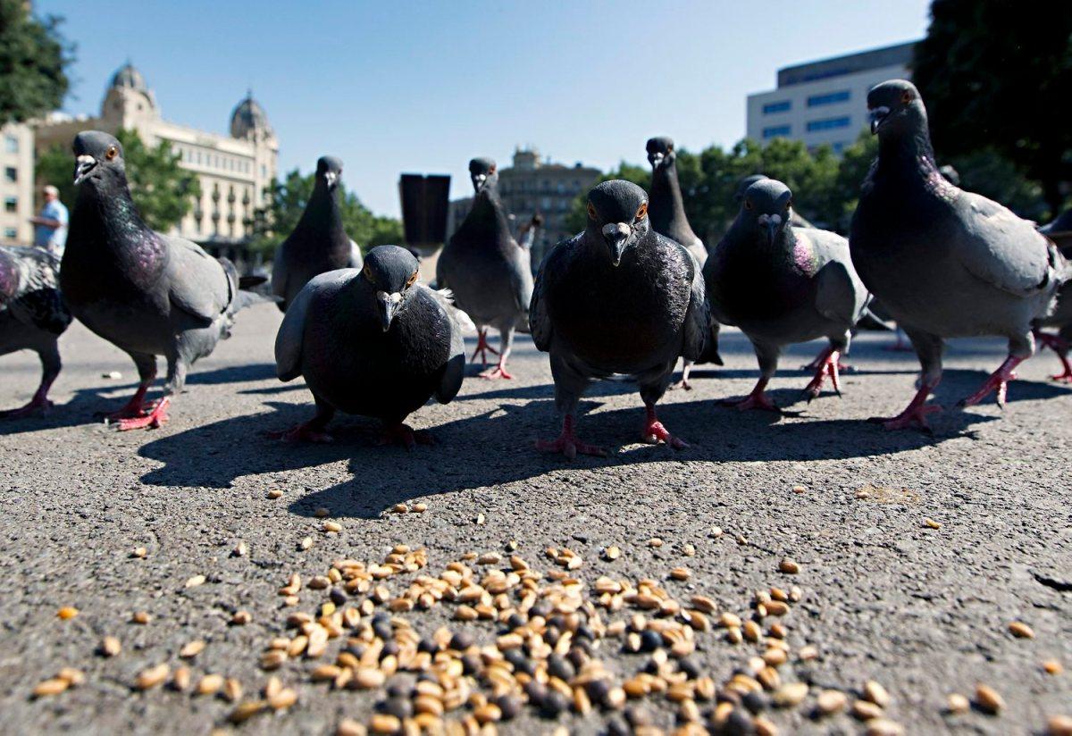 El PDeCAT pregunta al govern Colau qui va ordenar captures i eliminació de coloms a Pl. Catalunya i si és compatible amb el mètode ètic de controld'aus